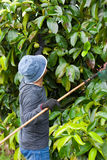 A farmer. Farmers collect fruit. (Mangoesteen Royalty Free Stock Photo