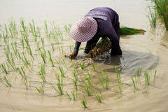 Farmer. S are planting rice in the morning Stock Photography