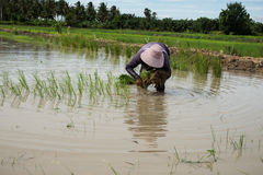 Farmer. S are planting rice in the morning Stock Photos