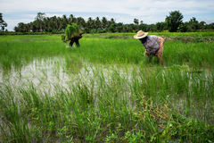Farmer. S are planting rice in the morning Stock Image