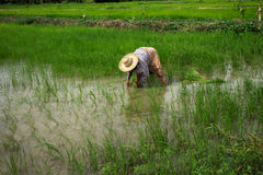 Farmer. S are planting rice in the morning Stock Images