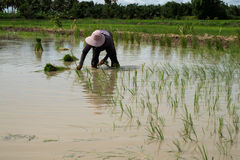 Farmer. S are planting rice in the morning Royalty Free Stock Photography