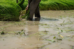 Farmer. S are planting rice in the morning Stock Photo