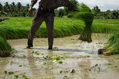 Farmer. S are planting rice in the morning Royalty Free Stock Photo