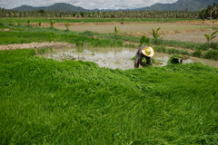 Farmer. S are planting rice in the morning Royalty Free Stock Images