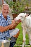 Farmer feeding a baby white cow Royalty Free Stock Photos