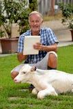 Farmer feeding a baby white cow Stock Image