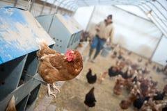 Farmer feeding chickens Stock Photo