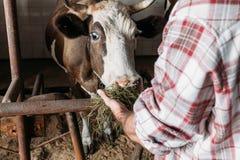 Farmer feeding cow. Cropped shot of farmer feeding cow with hay in stall stock image