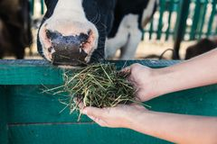 Farmer feeding cow in stall. Close-up partial view of farmer holding hay and feeding cow at stall Stock Images