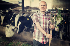 Farmer feeding cows with grass in farm Royalty Free Stock Photography