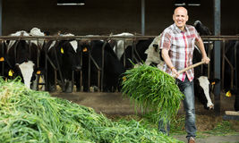 Farmer feeding cows with grass in farm Royalty Free Stock Images