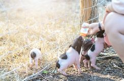 Farmer feeding milk to baby pig in farm stock images