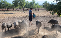 Farmer feeding pigs cattle. Black pigs cattle grazes and pasture near almond trees near the village of Bunyola while their farmer brings some extra grain, in the stock photography