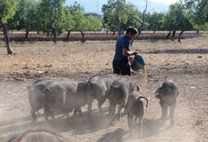 Farmer feeding pigs cattle on pasture. Black pigs cattle grazes and pasture near almond trees near the village of Bunyola while their farmer brings some extra stock images