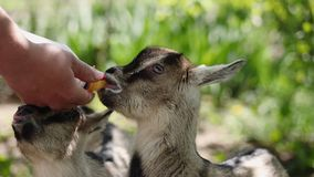 Farmer feeding two baby goat with a bottle full of milk. Farmer feeding two fun baby goat with a bottle full of milk stock video