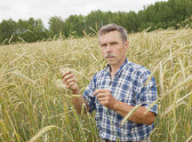 The farmer in the field. The farmer inspects a field of rye stock photo