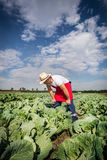 Farmer in the field of cabbage with blue sky Stock Photo