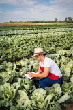 Farmer in the field of cabbage with blue sky Stock Photos