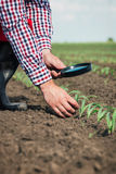 Farmer in field checking on corn Royalty Free Stock Photo