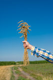 Farmer in the Field. Farmer hands holding wheat, agriculture Royalty Free Stock Photo