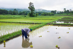 Farmer in field rice farming Stock Images