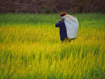 Farmer in field. Farmer in rice paddy stock photo