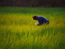 Farmer in field. Farmer in rice paddy Stock Images