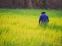 Farmer in field. Farmer in rice paddy stock photos