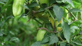 Harvesting, picking vegetables stock video footage
