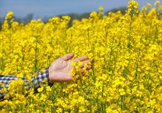 Farmer on the field touches the flowers. stock images