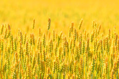 Farmer field of wheat background Royalty Free Stock Image