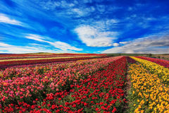 Farmer fields with the flowers Royalty Free Stock Image