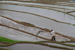 A farmer in the flooded rice fields of Bali Stock Image
