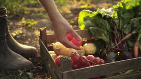 Farmer folding harvest of tomatoes, beets, potatoes, carrots in a wooden box on eco farm in sunset light.
