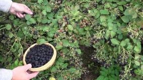 Farmer gardener hands picking blackberry stock video footage