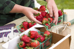 Farmer Gathering Fresh Strawberries in Baskets Stock Photo