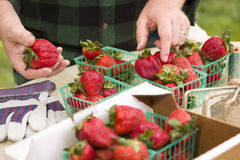 Farmer Gathering Fresh Strawberries in Baskets Stock Images