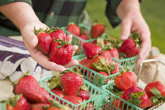 Farmer Gathering Fresh Strawberries in Baskets Royalty Free Stock Images