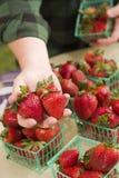 Farmer Gathering Fresh Strawberries In Baskets Stock Photo