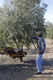 Farmer gathering olives in an olive tree near jaen Royalty Free Stock Photo