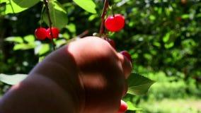 Farmer gathering sour cherries stock video footage