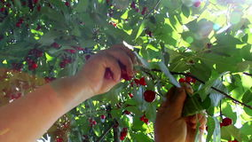 Farmer gathering sour cherries stock footage