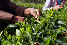 Farmer gathering tea Royalty Free Stock Photos