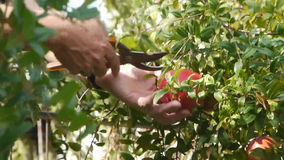 Farmer gathers harvest / horticulture / agriculture / cultivation / crop. Picking beautiful pomegranate apple stock footage