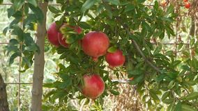 Farmer gathers harvest / horticulture / agriculture / cultivation / crop. Picking pomegranate apple stock video footage