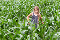 Farmer girl inspecting the growing corn. Little farmer girl inspecting the growing corn in spring or summer time stock photos