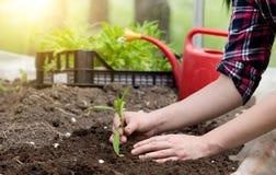 Farmer girl tranplanting herb Royalty Free Stock Image