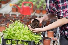 Farmer girl tranplanting herbs Stock Image