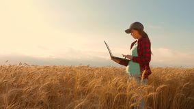 Farmer girl works with a tablet in a wheat field, plans a grain crop. agriculture concept. Woman agronomist studies stock footage